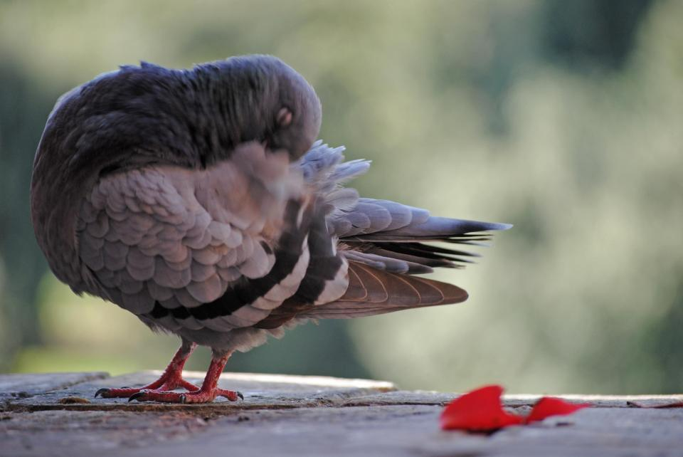 A pigeon preening on the Castel Sant; Angelo