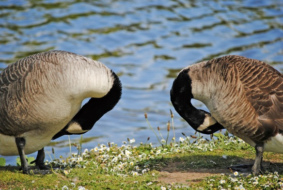 A couple of photo shy Canada geese