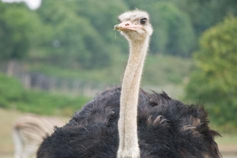 Woburn Safari -  Ostrich!
