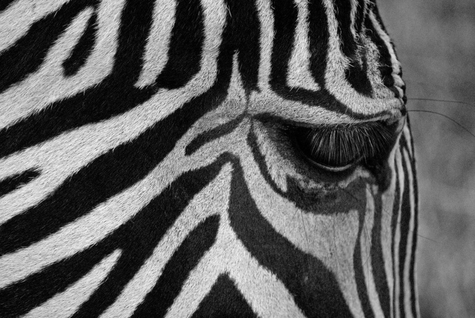 Zebra of course!