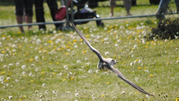 Falcon 1