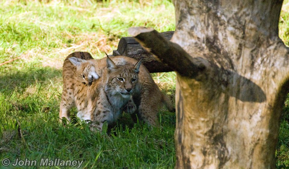European Lynx and cub playing