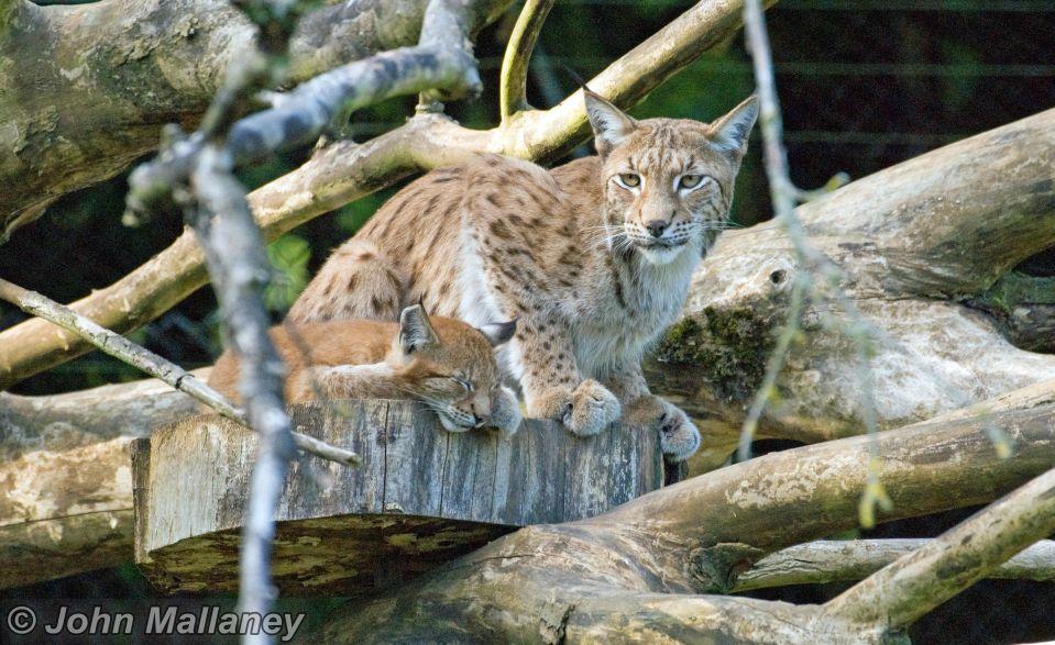 European Lynx and cub