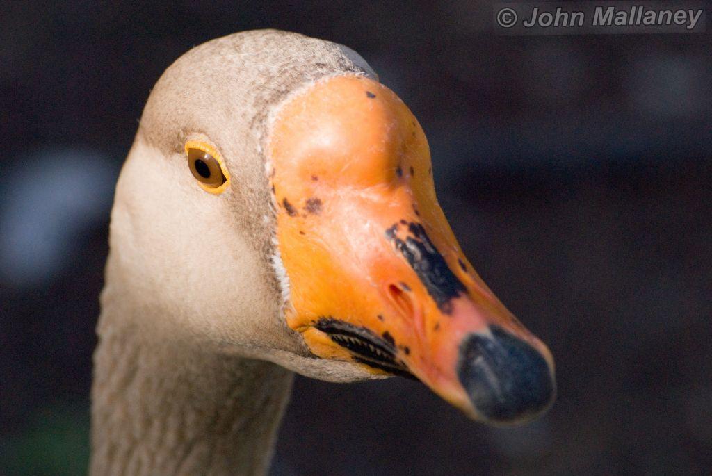 Goose a la orange
