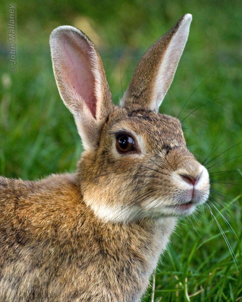 Hare I am?