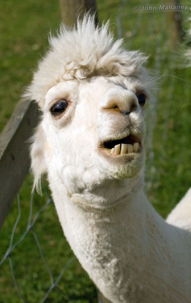Alpaca toothbrush next time