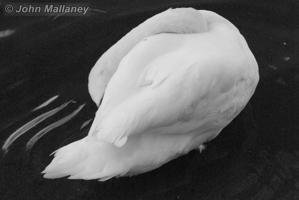 Mute swan this time in black and white