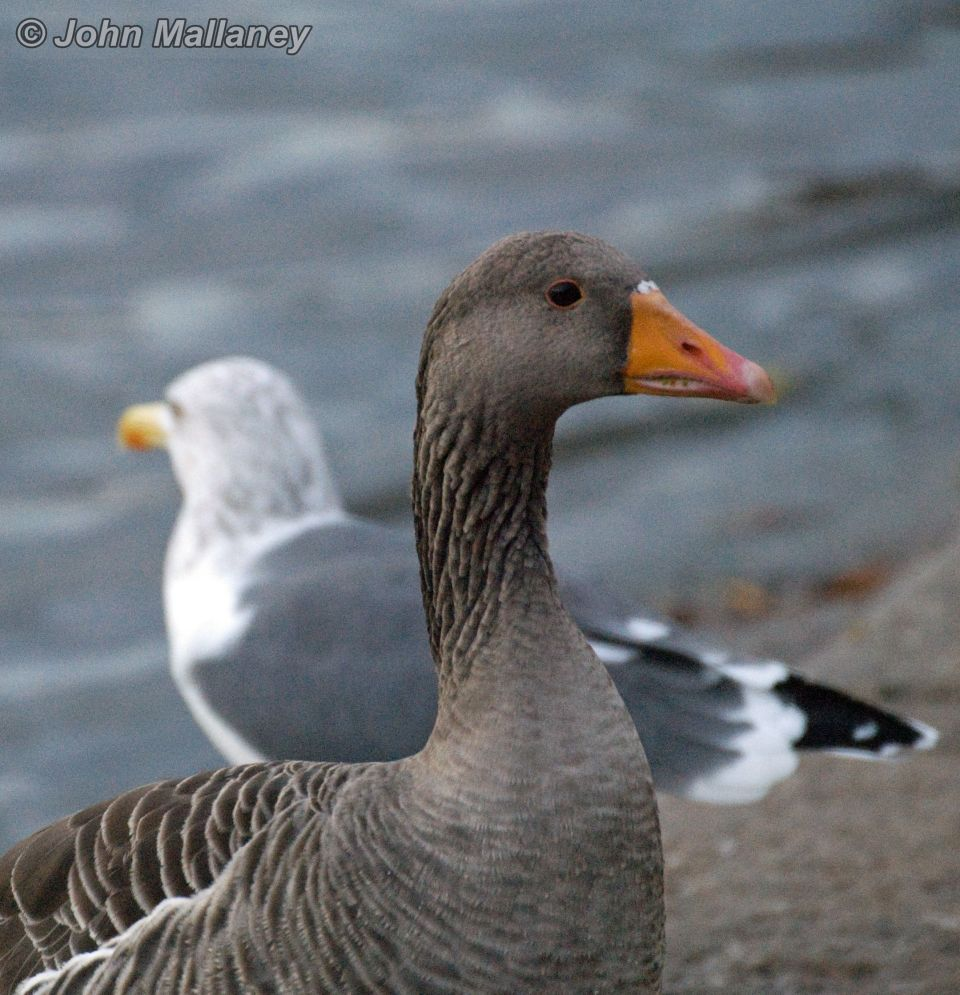 Goose and gull obviously not talking