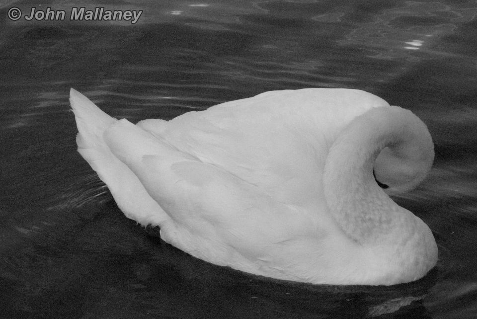 A Mute swan in black and white