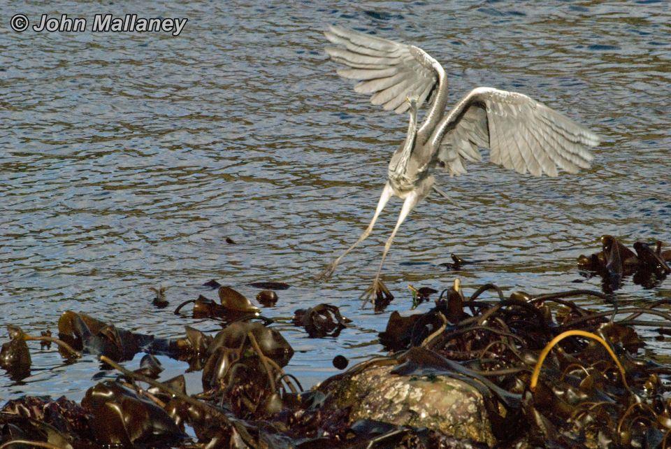 Grey Heron - up, up and away