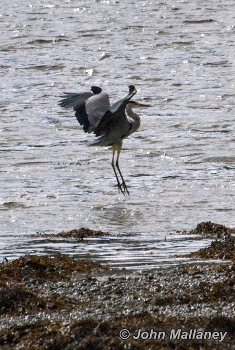 A grey Heron about to land