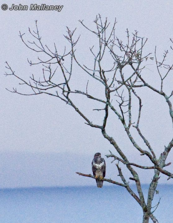 A common Buzzard from afar - outside the Ardvasar hotel