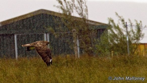 A common Buzzard through the rain