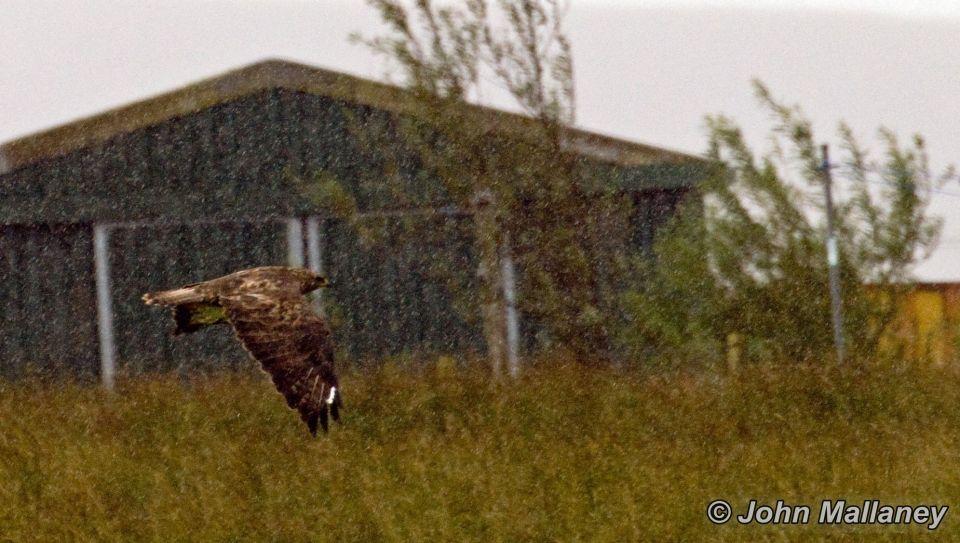 A common Buzzard through the rain