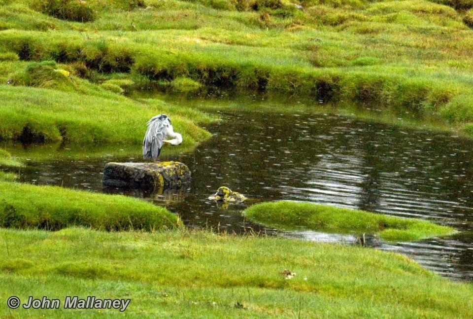 A grey Heron preening