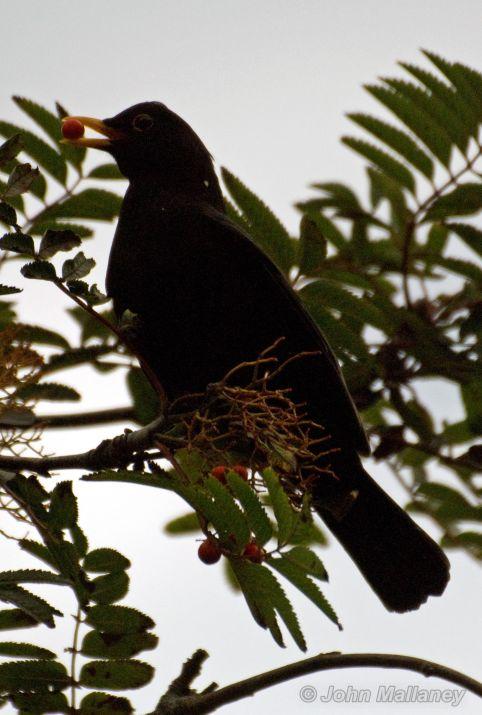 No stopping Mr Blackbird
