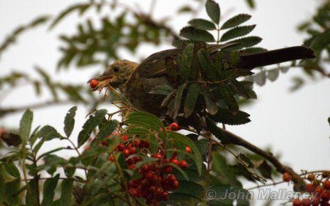 Mrs Blackbird munching