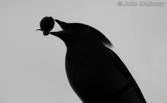 Waxwing silhouette