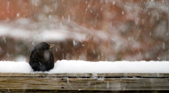 Blackbird chilling
