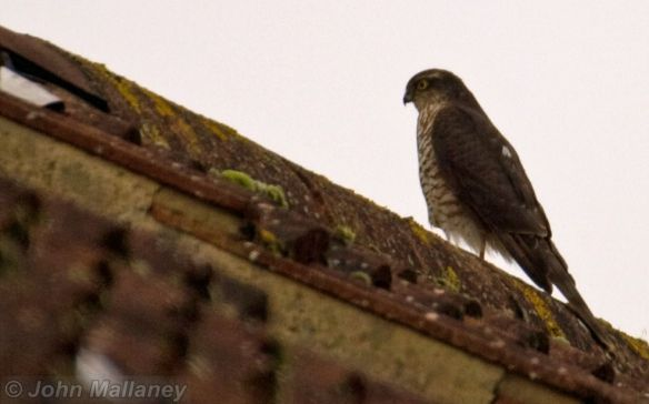 Sparrowhawk on the hunt on neighbours roof
