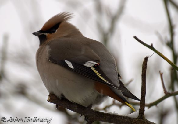 A well fed Waxwing