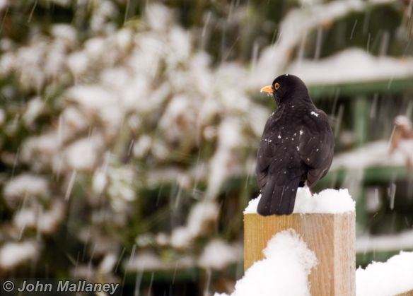 Blackbird braving the snow