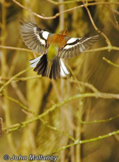 Graceful Chaffinch