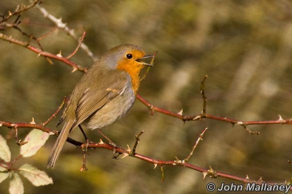 Noisy Robin