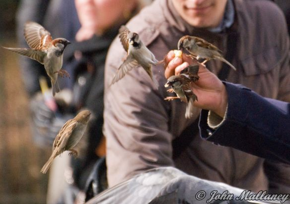 House Sparrow, Notre Dame