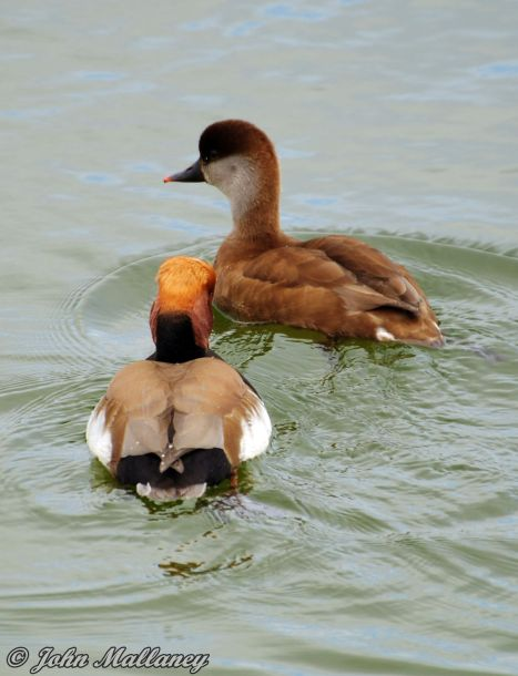 Mr & Mrs Red Crested Pochard