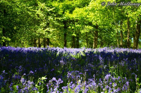 Bluebells at Greys Court