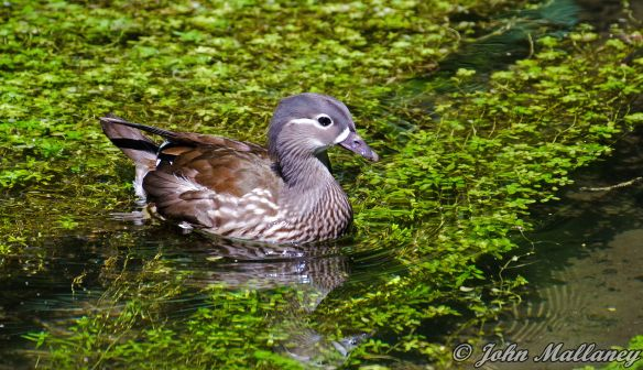 Female Mandarin