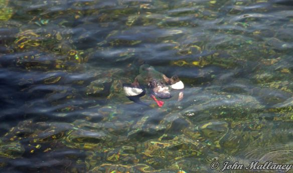 Black Guillemots