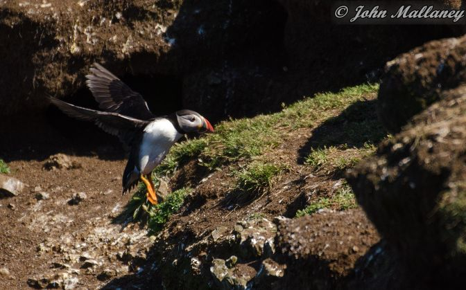 The Puffins of Lunga 1