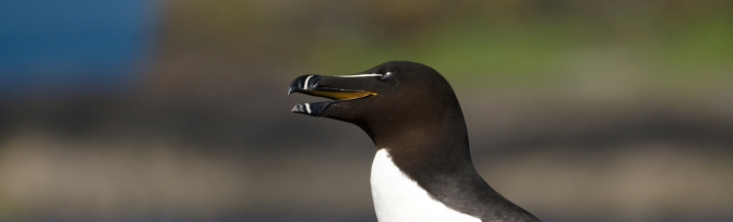 Isle of Mull – Razorbill
