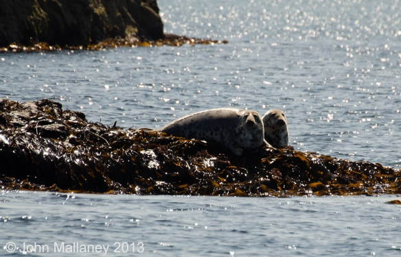 Common Seals