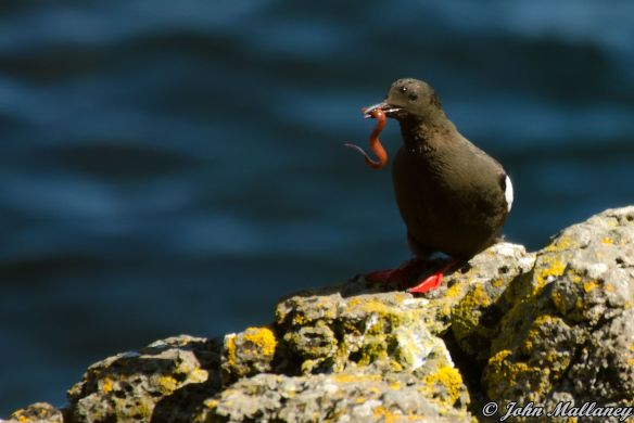 Black Guillemots of Staffa