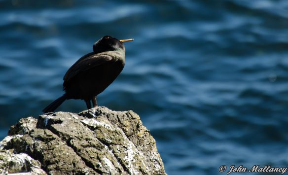 A Shag at Staffa