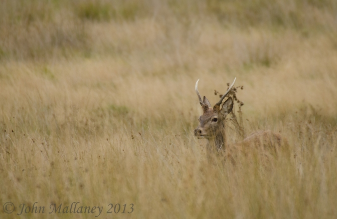 Richmond Park – Annual Deer Rut Part 2