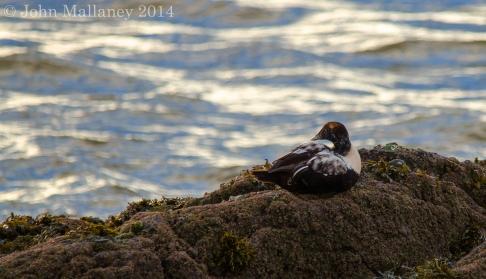 Juvenile Eider duck