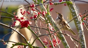 Redwing contemplating