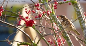 Redwing munching