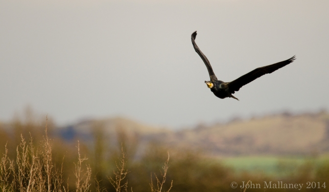 Birds in flight – Cormorant