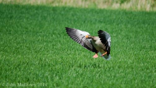 Greylag Goose