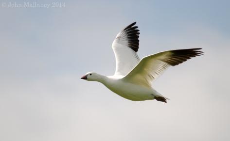 White Greylag Goose