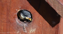 Great Tit chick