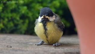 Great Tit fledgling