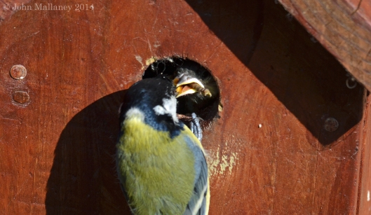 Mum feeding Great Tit chick