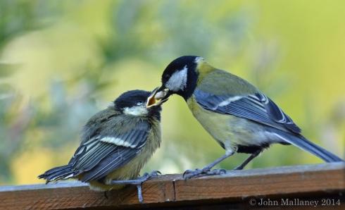 Fledgling feeding time