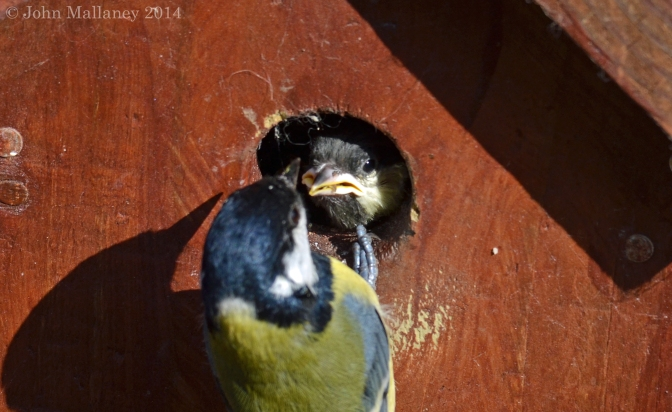 Great tits from fledging to fledglings – Part 1